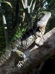 A water dragon sunning on a branch