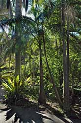 Bangalow palms and Birds nest ferns